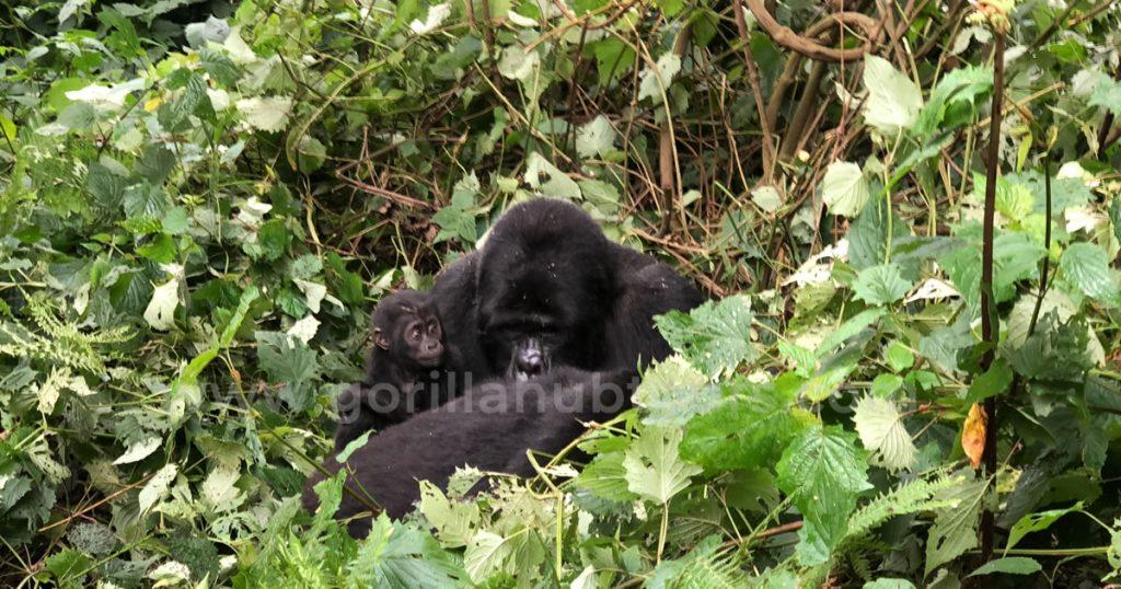 Bwindi Impenetrable Forest National Park Gorilla Hub Tours